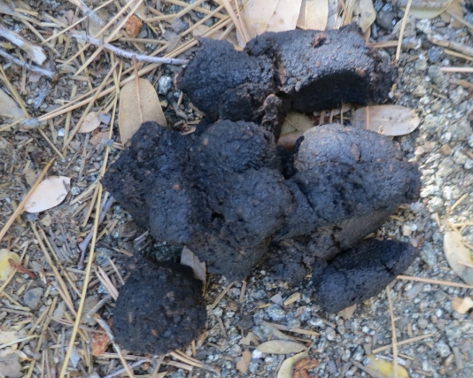 Bear scat? Don't know. If it is, it answers the age old question...