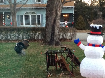 Tom turkey visiting us in NJ...